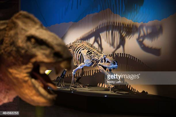 Dinosaur replicas are displayed during a media preview of the 'Dinosaurs Dawn to Extinction' exhibition at the Art Science museum on January 23 2014...