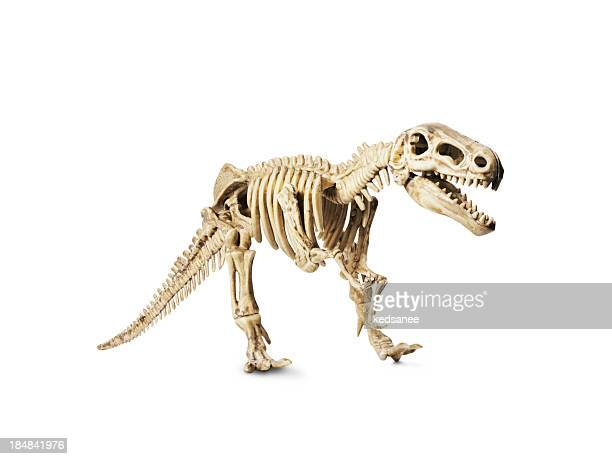 Dinosaur skeleton model isolated on white