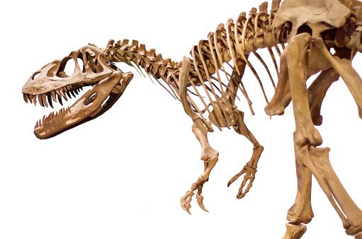 Dinosaur skeleton on white isolated background. 858334960