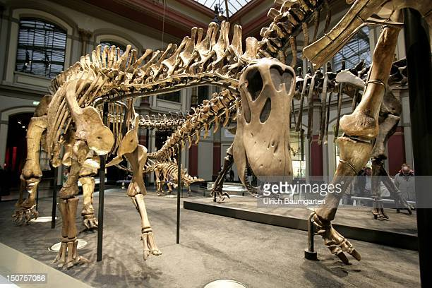 GERMANY BERLIN Dinosaurs in the museum of natural history Berlin Our picture shows the dinosaur skeleton of the Dicraeosaurus hansemanni and the foot...