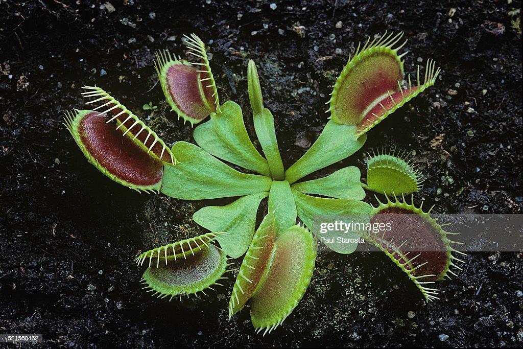 Dionaea muscipula (Venus flytrap) : ストックフォト