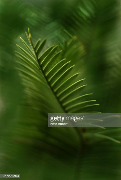 Dioon edule Cycad