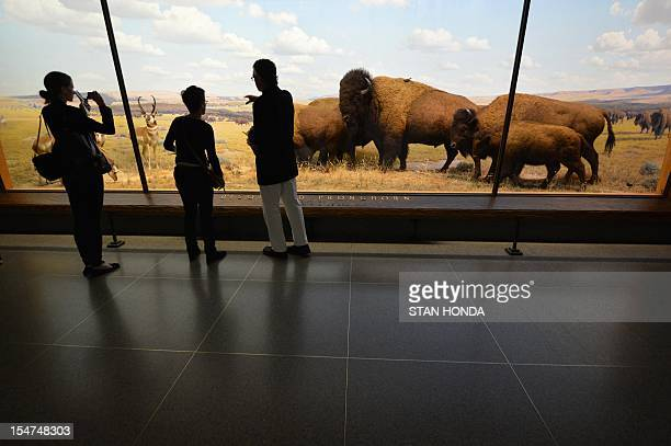 A diorama of Bison and Pronghorn in Wyoming is seen in a preview of the reopening of the Theodore Roosevelt Memorial and the Jill and Lewis Bernard...