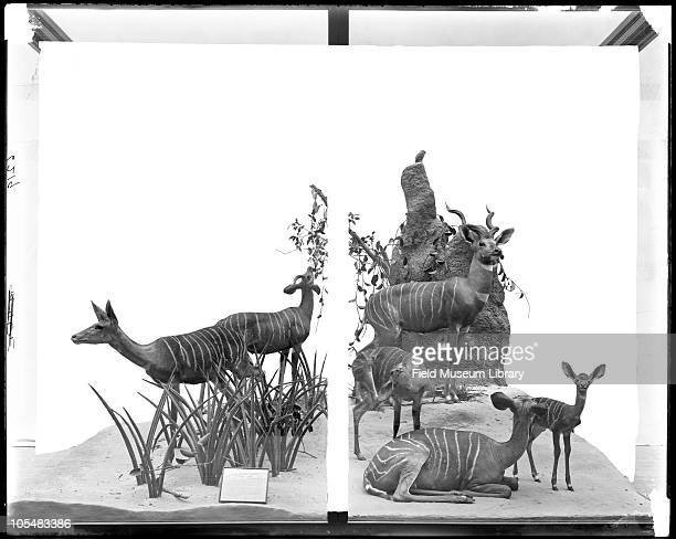 Diorama of Lesser Kudu including aloe plants and simulated ant hill as an accessory Field Columbian Museum 1900