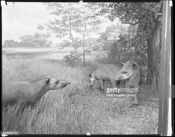 Diorama showing two adult and one partially grown American tapirs depicted under the shade of a tree at the edge of a grassy swamp during midday in...