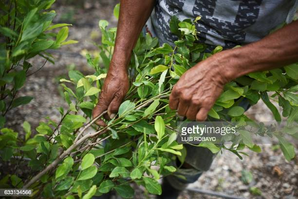 Diositeo Matitui a 67yearold coca grower picks leaves in his coca field in a rural area of Policarpa department of Narino Colombia on January 15 2017...