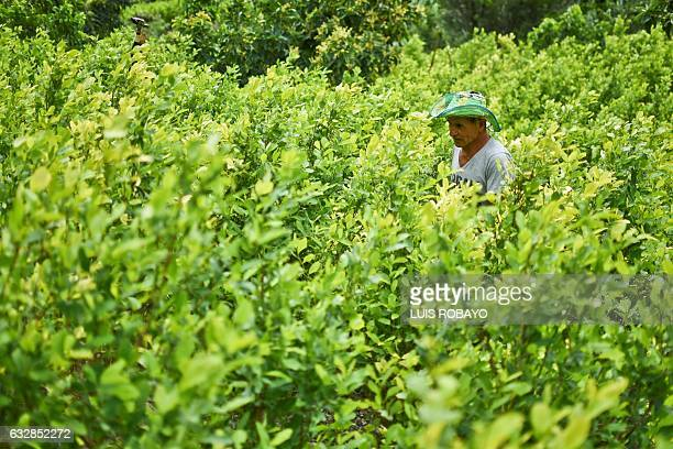 Diositeo Matitui a 67yearold coca grower works in his coca field in a rural area of Policarpa department of Narino Colombia on January 15 2017 The...