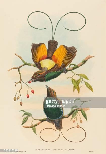 Diphyllodes chrysoptera . Artist John Gould, William Matthew Hart.