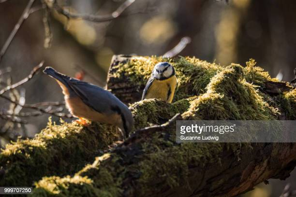 diplomatic blue tit - susanne ludwig stock pictures, royalty-free photos & images