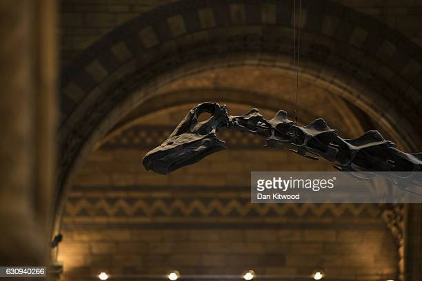 'Dippy' the Diplodocus stands in the great hall at Natural History Museum on January 4 2017 in London England The 70ft long plastercast sauropod...