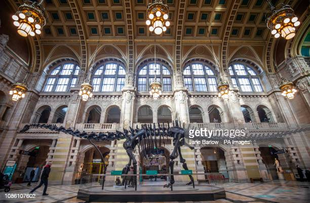 Dippy the Natural History Museum London's famous diplodocus skeleton is unveiled at Kelvingrove Art Gallery and Museum in Glasgow