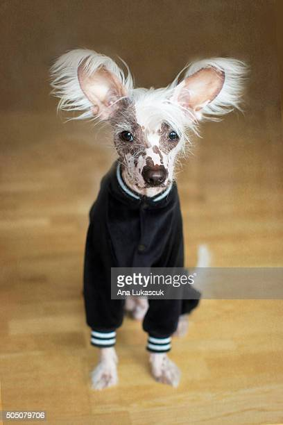 dipsi - chinese crested dog stock photos and pictures