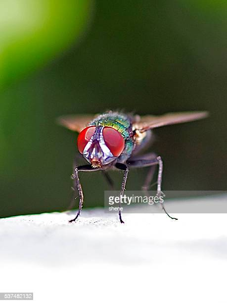 diptera - radiation sickness stock photos and pictures