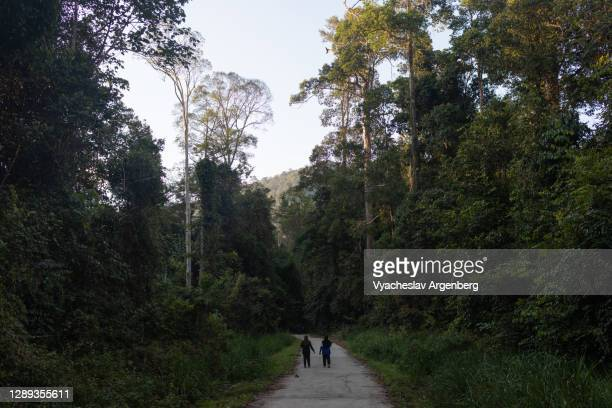 dipterocarp trees in maliau basin, borneo - dipterocarp tree stock pictures, royalty-free photos & images