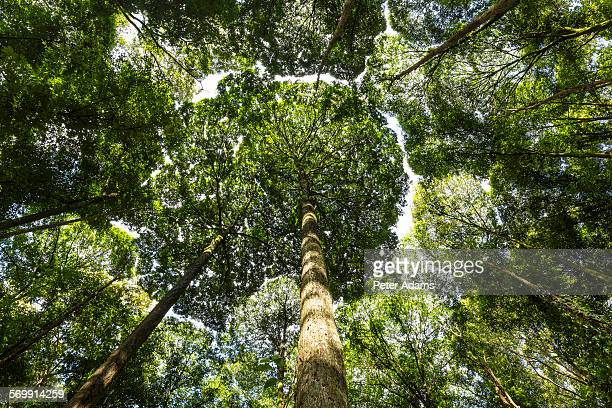 dipterocarp trees in rainforest near kuala lumpur - dipterocarp tree stock pictures, royalty-free photos & images