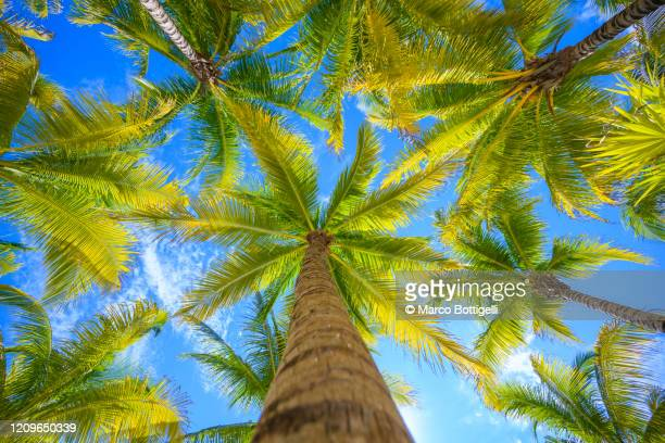 direcly below view of coronut palm trees, mexico - coconut palm tree stock pictures, royalty-free photos & images