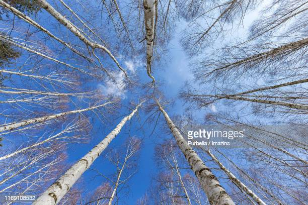 direct low angle shot of birch tree woods, inje, south korea - purbella stock photos and pictures