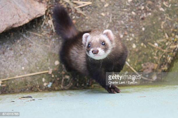 Directly Above Portrait Of Weasel By Wall