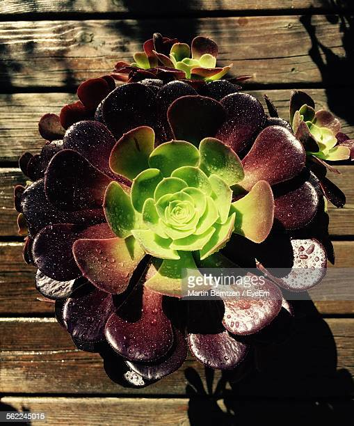 Directly Above Shot Of Aeonium On Wooden Floor