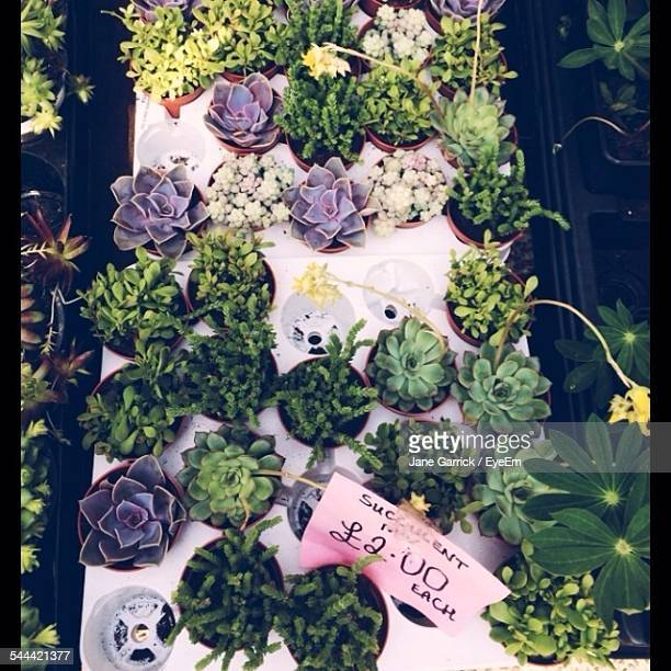 Directly Above Shot Of Cactus Displayed At Market Stall