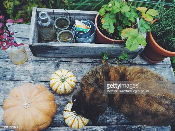Directly Above Shot Of Cat And Pumpkin By Potted Plant On Table