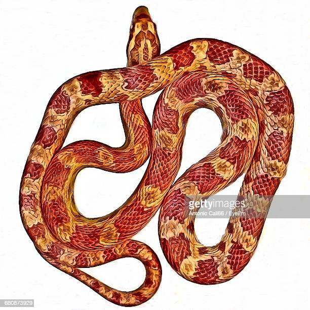 Directly Above Shot Of Corn Snake Against White Background