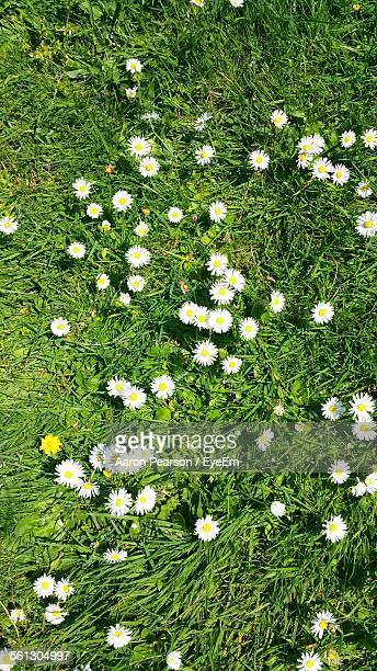 Directly Above Shot Of Daises Blooming On Grassy Field