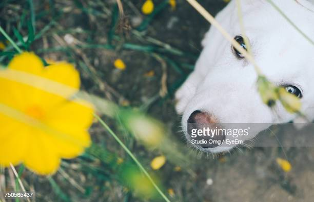 Directly Above Shot Of Dog Looking At Yellow Flower Blooming On Field