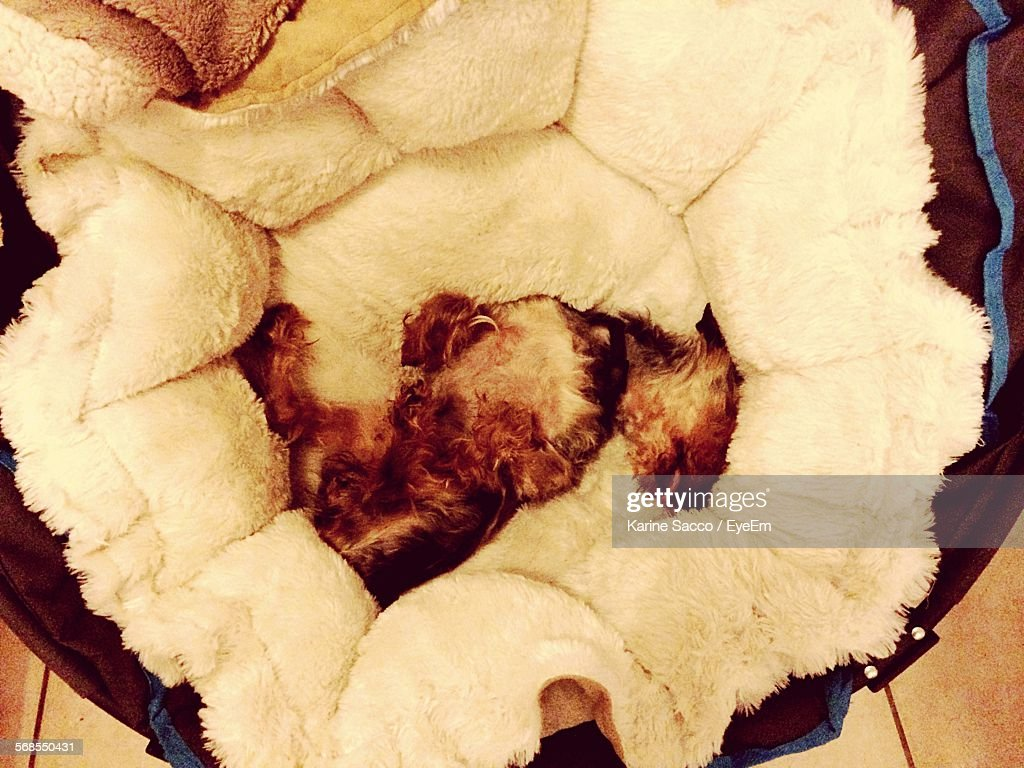 Directly Above Shot Of Dog Relaxing On Fur Bed At Home : Stock Photo