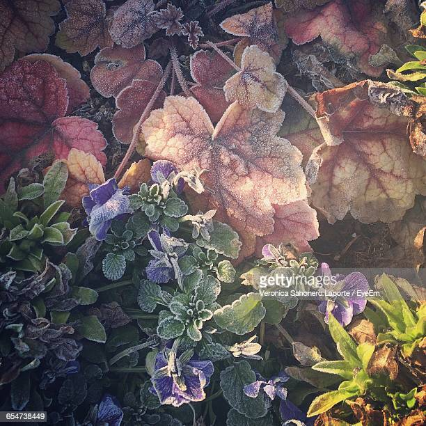 Directly Above Shot Of Frozen Purple Flowers And Leaves In Park During Winter