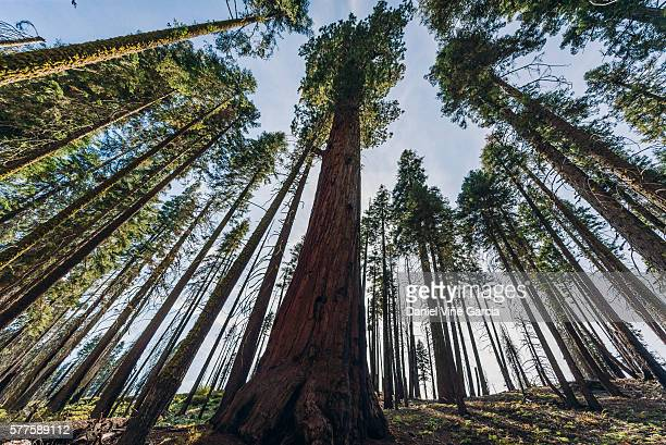 Directly Above Shot Of Giant Sequoia
