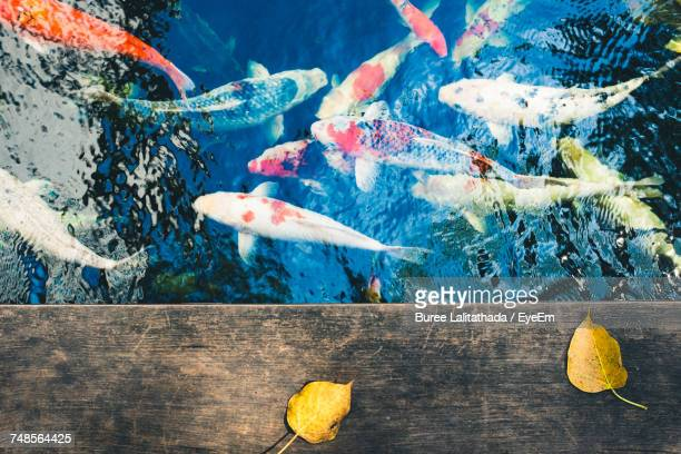 directly above shot of koi carps swimming in pond - carp stock photos and pictures