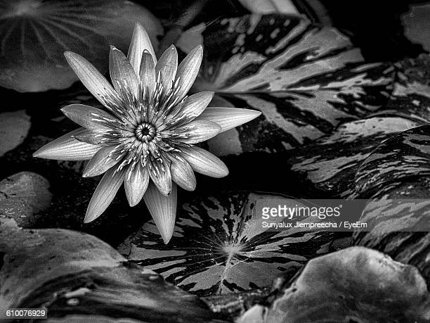 Lotus Flower Black And White Stock Photos and Pictures | Getty Images