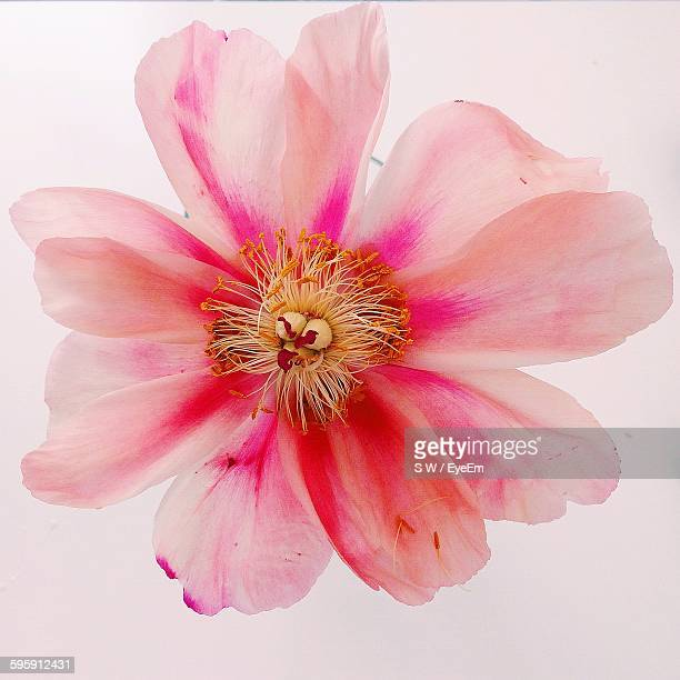 Directly Above Shot Of Peony Against White Background