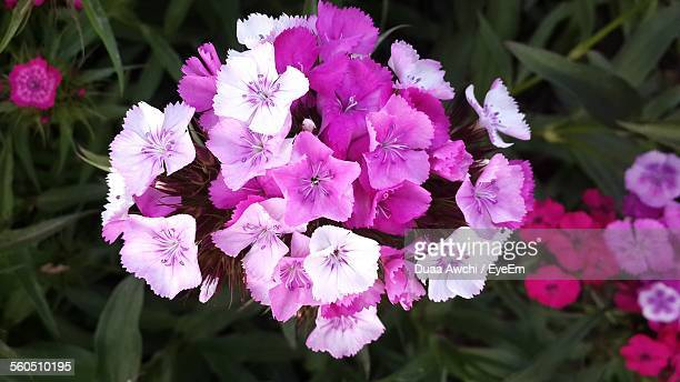 Directly Above Shot Of Pink Carnation Flowers
