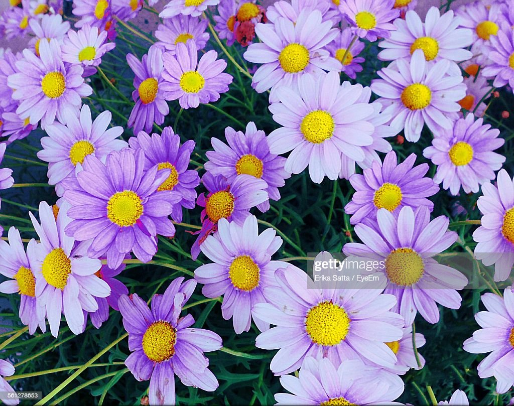 Directly above shot of purple daisy flowers stock photo getty images directly above shot of purple daisy flowers stock photo izmirmasajfo