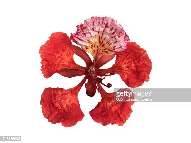 Directly Above Shot Of Red Flower Over White Background