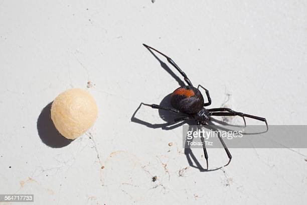 Directly above shot of redback Spider with cocoon on surface