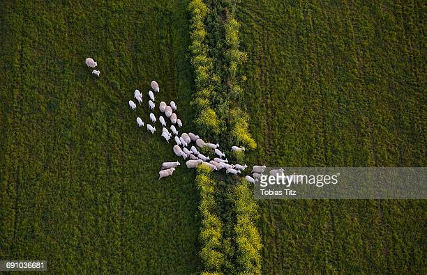 directly above shot of sheep walking on grassy field - livestock stock pictures, royalty-free photos & images
