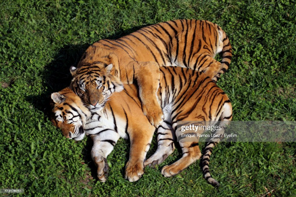 Directly Above Shot Of Tigers Lying On Field : Photo