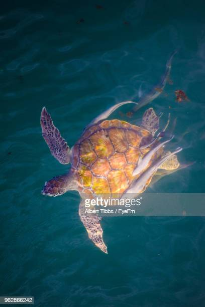 Directly Above Shot Of Turtle With Fish Swimming In Sea