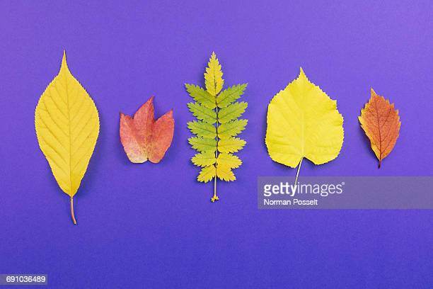 Directly above shot of various leaves arranged on purple background