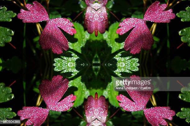 Directly Above Shot Of Wet Pink Flowers Blooming In Garden