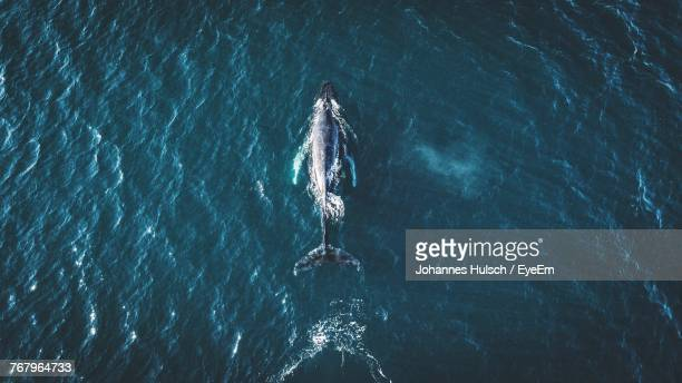 directly above shot of whale in sea - wal stock-fotos und bilder