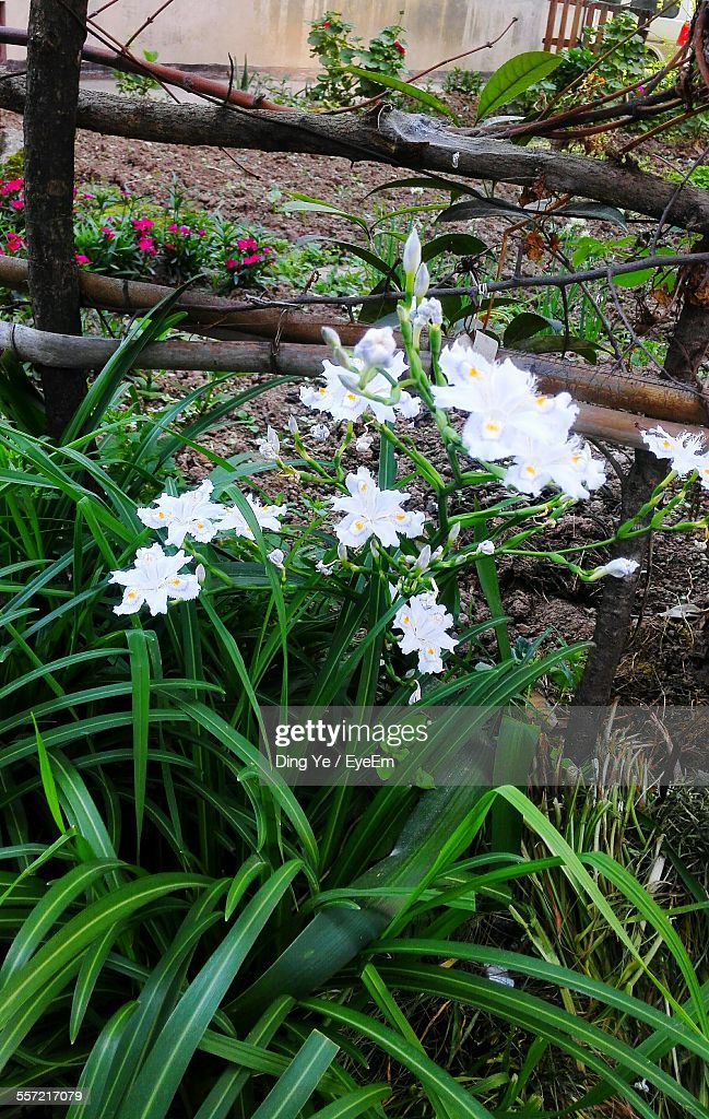 Directly Above Shot Of White Flowers In Lawn Stock Photo Getty Images