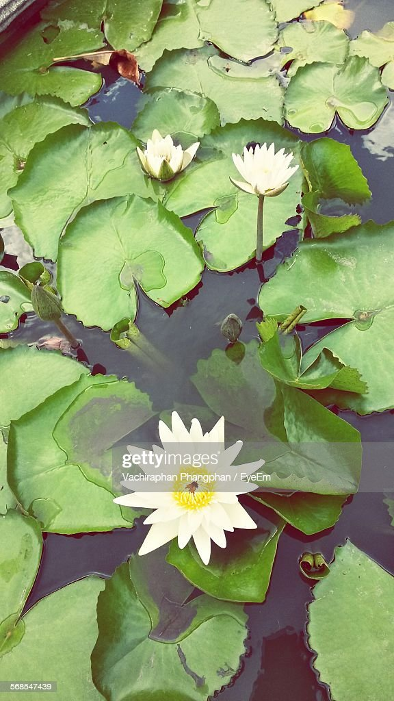 Directly Above Shot Of White Water Lilies Growing In Pond : Stock Photo