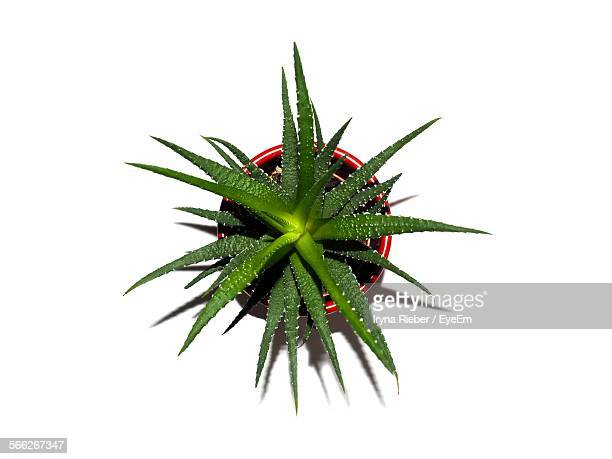 Directly Above View Of Cactus Plant Over White Background
