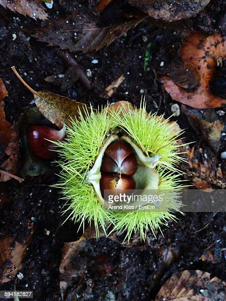 Directly Above View Of Chestnuts On Field