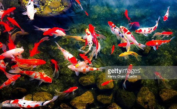 Directly Above View Of Fishes Swimming In Pond