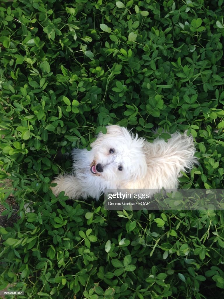 Directly above view of puppy looking at camera : Stock Photo